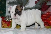Two English Bulldog Puppies Available,  A Male and Female