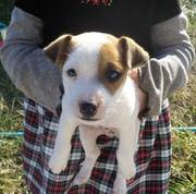 Jack Russell -7 weeks old,  only 2 left  Read more: http://louisville.e
