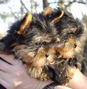 Adorable Yorkie Puppies For  Available for Good homes